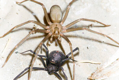 Black Widow Vs Brown Recluse See Who Wins Explaining